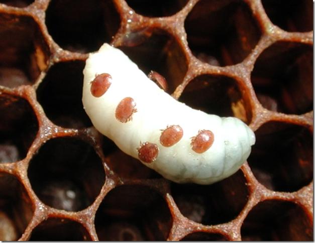 varroa sobre larva